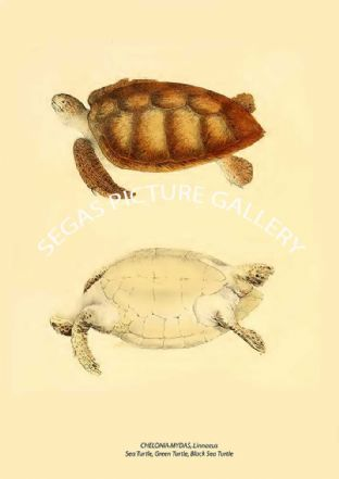 CHELONIA MYDAS, Linnaeus - Sea Turtle, Green Turtle, Black Sea Turtle